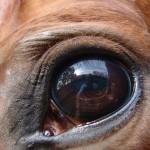 Le regard d'un cheval